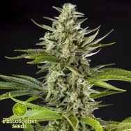 Philosopher Seeds Early Gorilla