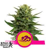 Royal Queen Seeds Blue Mistic