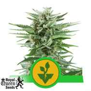 Royal Queen Seeds Easy Bud Automatic