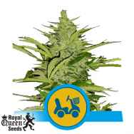 Royal Queen Seeds Fast Eddy Auto CBD
