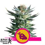 Royal Queen Seeds Fruit Spirit