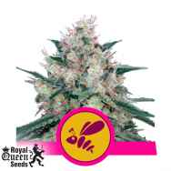 Royal Queen Seeds Honey Cream Fast