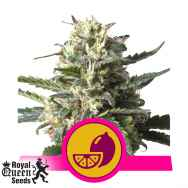Royal Queen Seeds Lemon Shining Silver Haze aka Lemon Haze