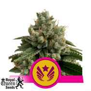 Royal Queen Seeds Legendary Punch