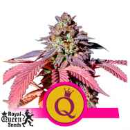 Royal Queen Seeds Purple Queen