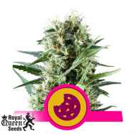 Royal Queen Seeds Royal Cookies