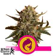 Royal Queen Seeds Mother Gorilla AKA Royal Madre