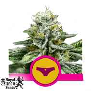 Royal Queen Seeds Sherbet Queen