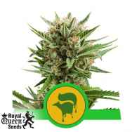 Royal Queen Seeds Sweet Skunk Automatic