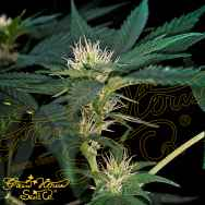 Green House Seeds Super Lemon Haze x Purple Punch x Dosidos