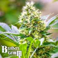 Brothers Grimm Seeds Strawberry Diesel x C99