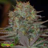 SubCools The Dank Seeds Dawggone Sour