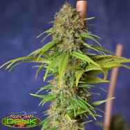 SubCools The Dank Seeds Deadlights CBD