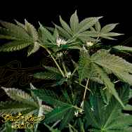 Green House Seeds Super Lemon Haze x Strawberry Banana x Bubba Kush