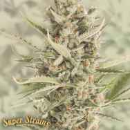 Super Strains Seeds 7th Wave