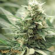 Super Strains Seeds Agartha CBD