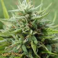 Super Strains Seeds Cookies Krush