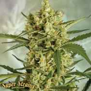 Super Strains Seeds Crackers