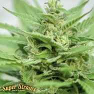 Super Strains Seeds DFA Autoflowering