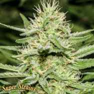 Super Strains Seeds Enemys Dream