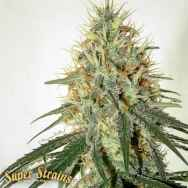 Super Strains Seeds Enemy of the State
