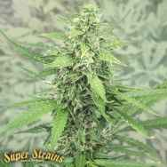 Super Strains Seeds Hermana de la Noche