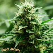 Super Strains Seeds Mexican Candy