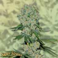 Super Strains Seeds Original Amnesia