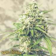Super Strains Seeds Saga CBD