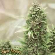 Super Strains Seeds Turing Autoflowering