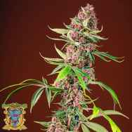 Sweet Seeds Red Mandarine F1 Fast Version