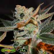 SubCools The Dank Seeds Cherry Lemonade