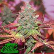 True Canna Genetics Cheddar Valley