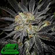 True Canna Genetics Cookie Fever