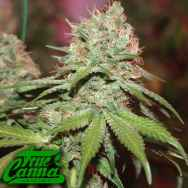True Canna Genetics Exodus Valley