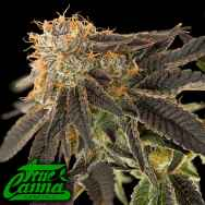 True Canna Genetics Pink Cookie Bliss