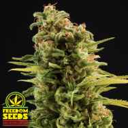 Freedom Seeds Big Trip