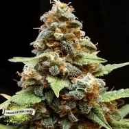 Cream of the Crop Seeds Gorilla Lemon Fire