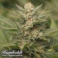 Humboldt Seed Organization Sapphire Scout