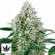White Label Seeds Pure Power Plant Automatic