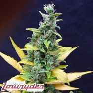 Lowryder Seeds Chronic Ryder