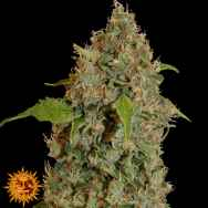Barneys Farm Seeds Chronic Thunder