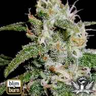 BlimBurn Seeds Cindy 99