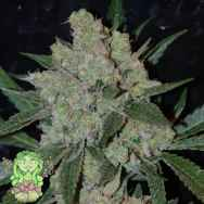 Trichome Jungle Seeds Cindy 99 x Cheese