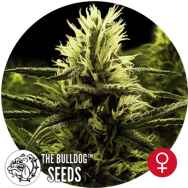 The Bulldog Seeds Citral Skunk