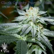 CannaVenture Seeds Clark County Purple Kush