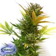 Flash Autoflowering Seeds Cobra