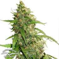 Dutch Passion Seeds CBD AUTO Compassion Lime
