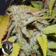 Purple Caper Seeds Cookies OG