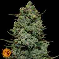 Barneys Farm Seeds Cookies Kush